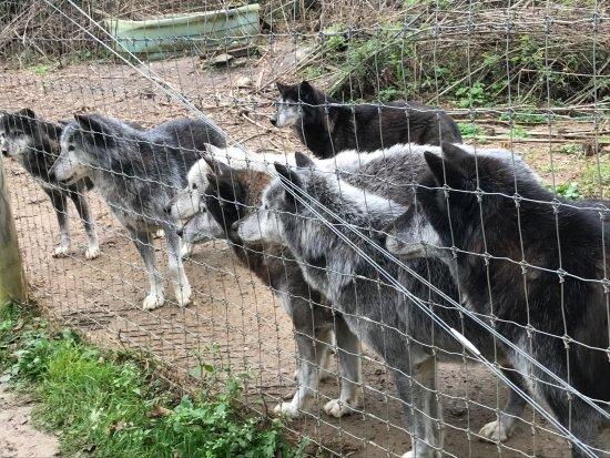 Wolf Sanctuary of PA : photo8.jpg