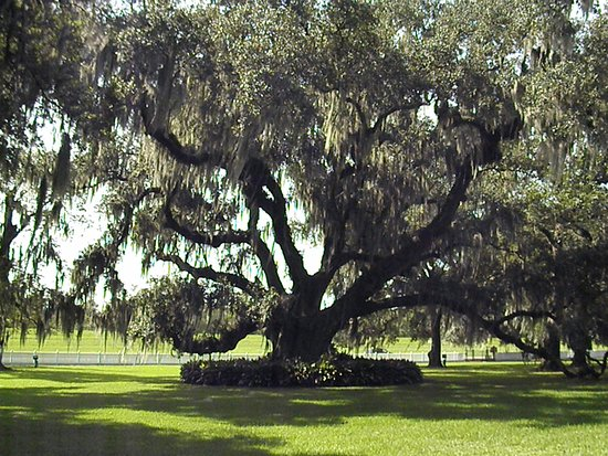 Oak tree on the grounds of Destrehan plantation