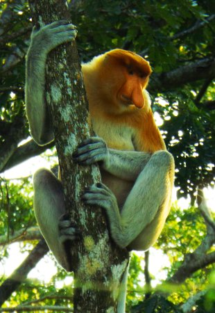 Kota Kinabalu District, Malaysia: Big Nose Monkey - Nasalis Lavartus - Proboscis Monkey - KB River Cruise - Kota Belud River Cruis