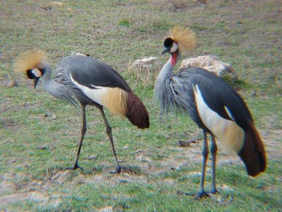 Amboseli National Park, Kenya: Pair of birds