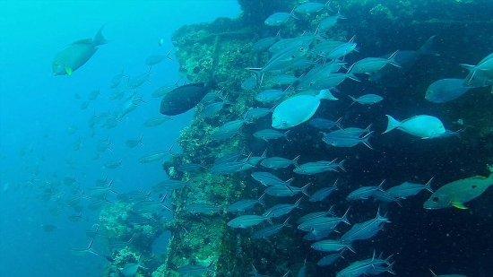 Tulamben, Indonesia: Banc de poissons au niveau de l'épave du Liberty