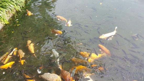 ทีร์ตากังการ์: Goldfische