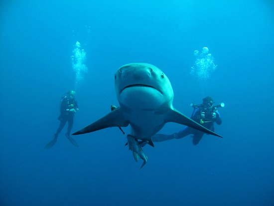 Margate, Dél-Afrika: Bullshark peaceful flanked by divers on Protea Banks