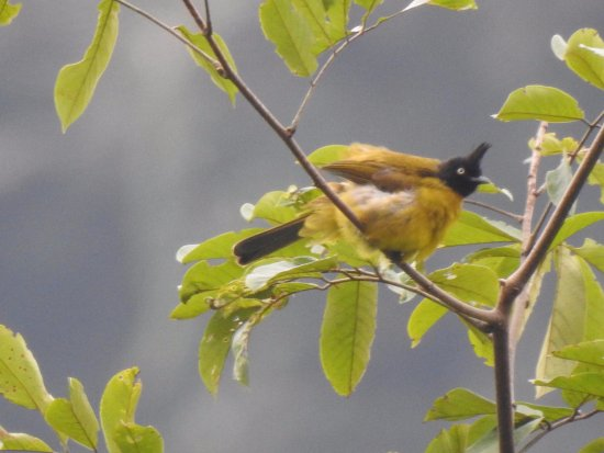 Cuc Phuong National Park, Vietnam: Black Crested Bulbul seen on bird walk