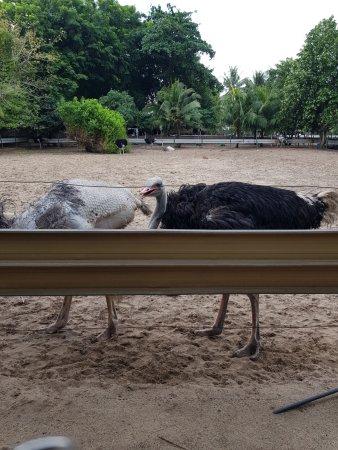 Johor, Malasia: Pecking the feathers