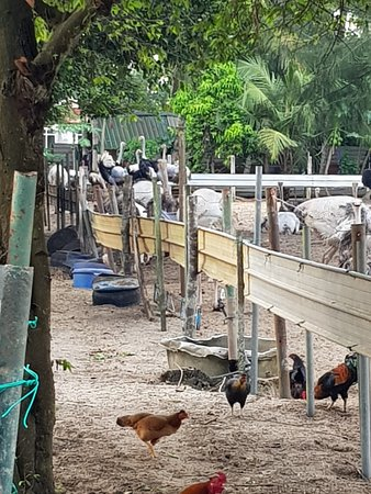 Johor, Malezja: chickens roaming with the ostriches