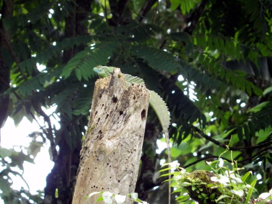 Province of Heredia, Kosta Rika: Jesus Lizard
