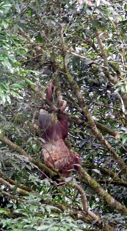 Province of Heredia, Kosta Rika: Sloth