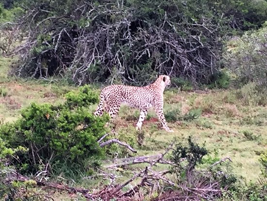Shamwari Game Reserve Lodges: Cheetah on the move
