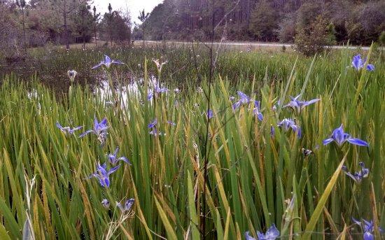 Milton, FL: blooming pond on mile 3