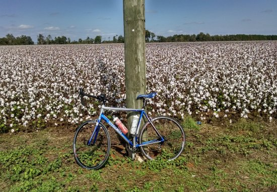 Milton, FL: Cotton ready to be harvested, just north of Whiting Field