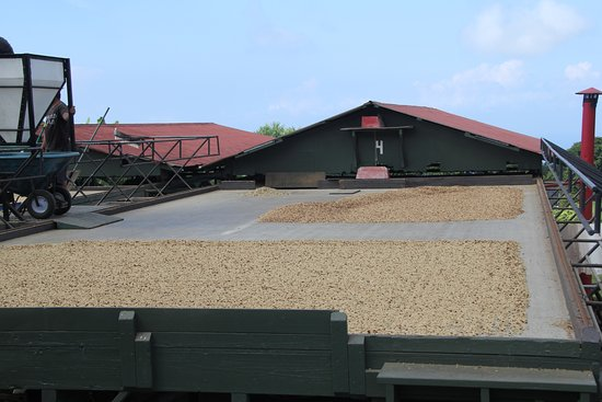 Kealakekua, HI: Coffee beans being sundried