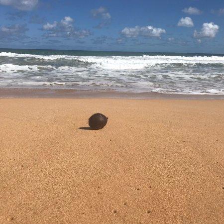 Kealia, HI: coconut on the beach