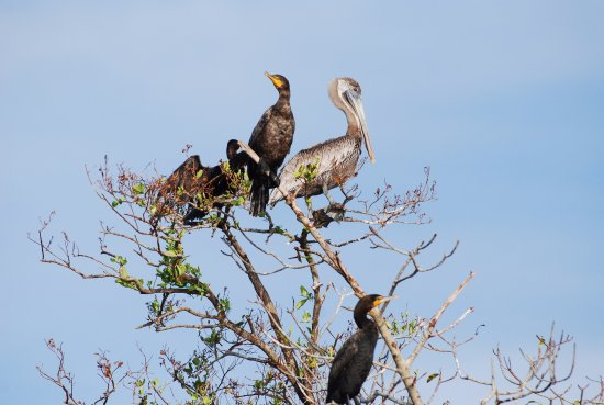 Everglades Area Tours: We saw plenty of pelicans and cormorants in trees on small sandy islands in Caxambas Pass.