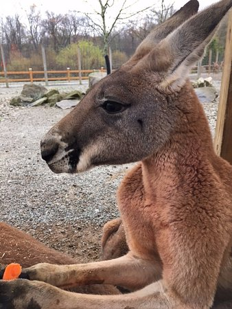 Jones Mills, Pensilvanya: Perfect profile of this kangaroo eating a carrot we gave him.