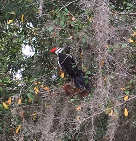 Chiefland, FL: Pileated woodpecker  at Manatee Springs State Park