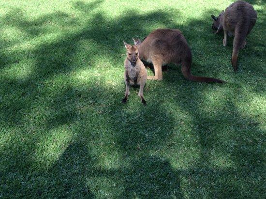 Blacktown, Australia: Kangaroo