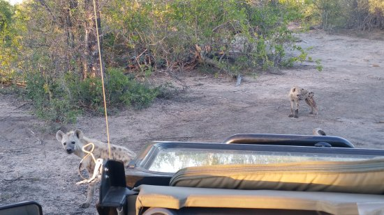 Senalala Luxury Safari Camp: Young spotted hyenas checking out the Land Cruiser.