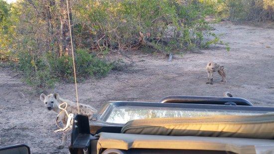 Senalala Luxury Safari Camp: Young spotted hyenas checking out the Land Cruiser.