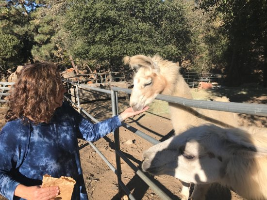 Wikiup Bed and Breakfast: Feeding the lamas