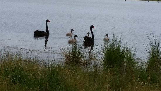 Discovery Lagoon Caravan & Camping Grounds: Black Swans on the Lagoon in Winter time when the Lagoon is full from the rain fall