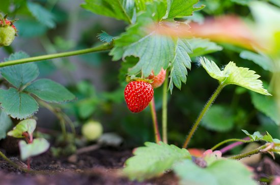 Manti, UT: The sweetest strawberries you've ever tasted come right from our garden to the table.