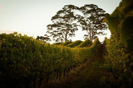 Denmark, Australia: vineyard in the afternoon