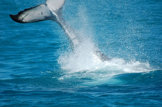 Urangan, Avustralya: first time for whales...great...