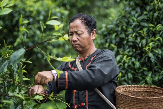 Mae Ai, Thailand: Doi Pu Muen tea