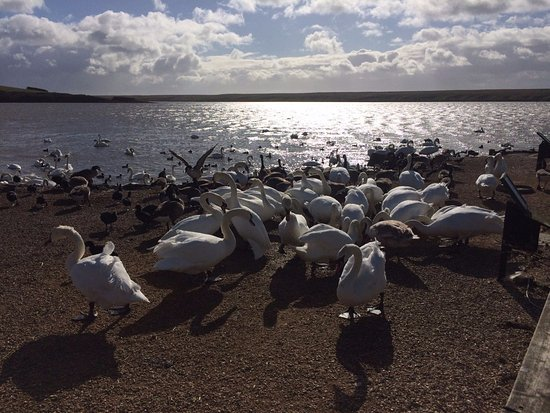 Abbotsbury, UK: A lot of swans...
