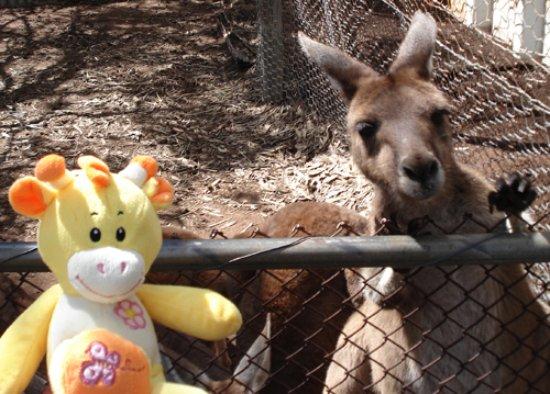 Geraldton, أستراليا: Feed the kangaroos