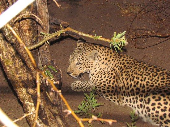 Ghanzi, Botswana: Leopard vorübergehender Gast