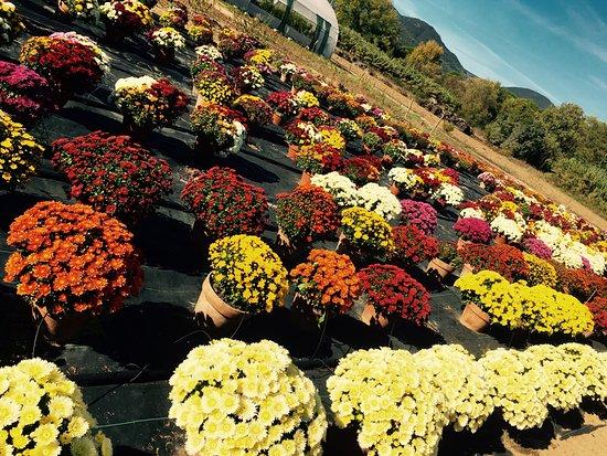 Saint-Chinian, فرنسا: Fleurs de la toussaint