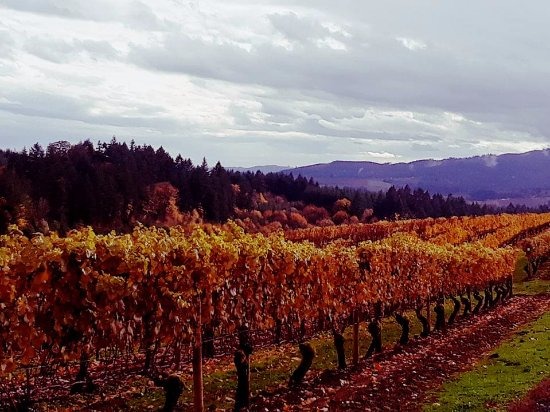 Forest Grove, OR: Vineyard at David Hill Winery