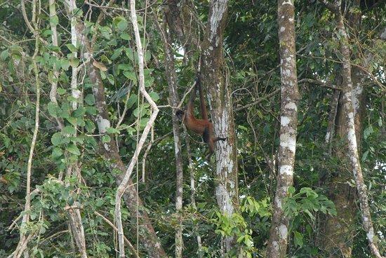 Drake Bay, Costa Rica: mono araña