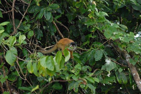 Drake Bay, Costa Rica: mono titi