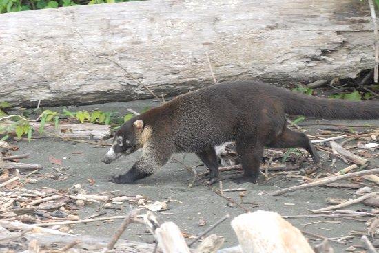 Drake Bay, Kostaryka: pizote o coatí