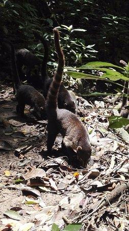 Κόλπος Drake, Κόστα Ρίκα: pizote o coatí
