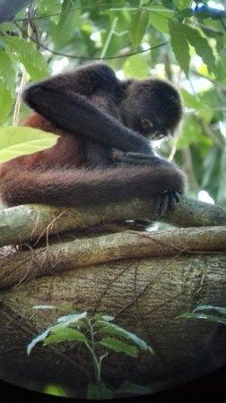 Drake Bay, Costa Rica : mono araña durmiendo