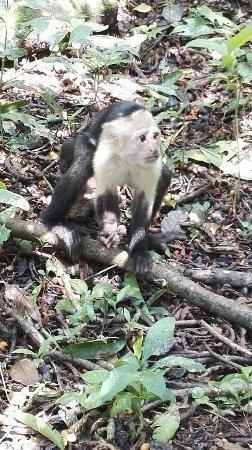 Drake Bay, Costa Rica: mono capuchino