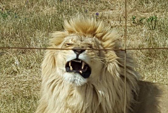 Western Cape, Zuid-Afrika: huge yawn