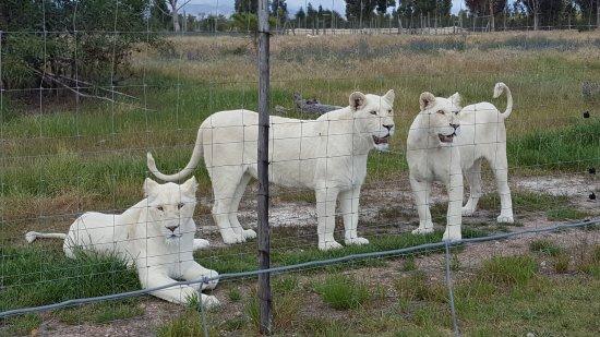 Western Cape, Zuid-Afrika: triplets