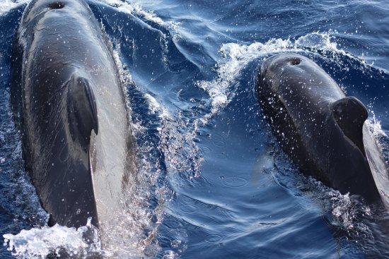 Freebird Catamaran: Pilot whales just ahead of the boat