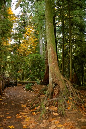 Cathedral Grove: Tree roots