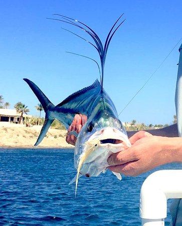 Tailhunter International Sportfishing: Pez Gallo (rooster fish)