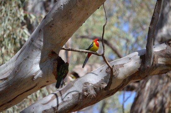 Deniliquin, Austrália: Go bird watching at the Island Sanctuary