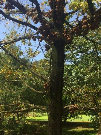 allerton garden reviews. allerton garden: cannonball tree garden reviews