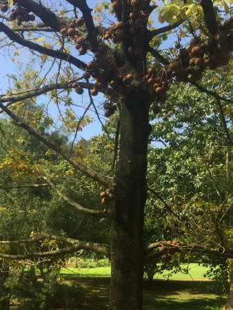 Allerton Garden: Cannonball tree