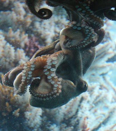 Busselton Jetty: Amorous Octopus