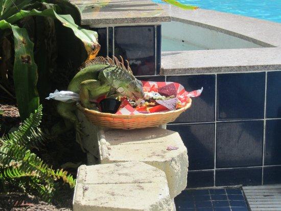 Iguana stealing nachos :)
